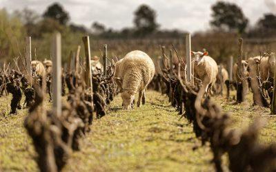 Les moutons en action